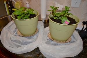 mint plant prep