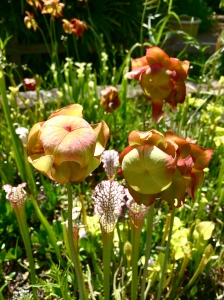 pitcher plants in bloom