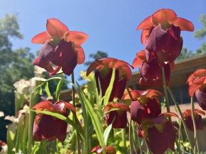 pitcher plants red