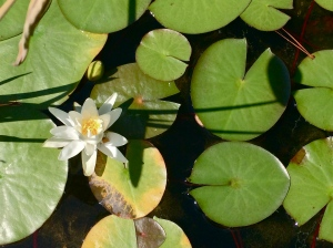 lotus and water lily pads
